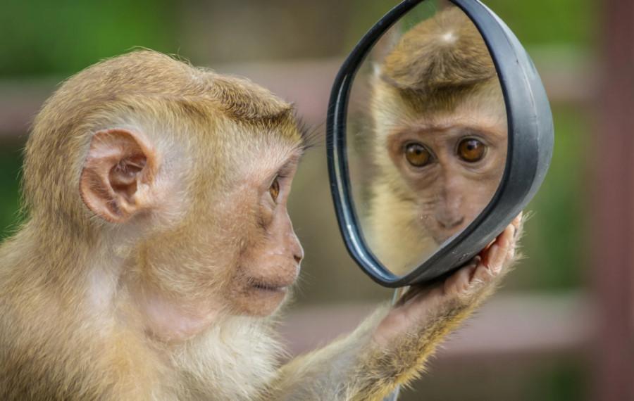 Affe mit Spiegel
